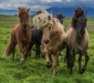 icelandic horses by Jack Graham