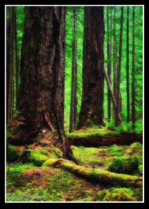 Olympic NP rain forest