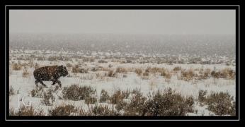Bison in Wyoming; X-T1 Nikon 300 by jack graham