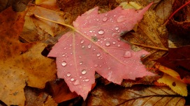 fall leaf with dew; X-t1, 60mm-micro by bill fortney