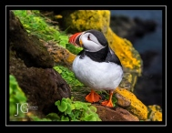 Iceland Puffin; X-T1 by jack graham