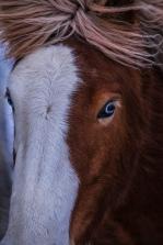Icelandic horse; X-T1 by jack graham