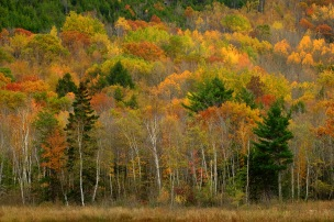 Maine forest; Acadia NP, Maine; X-T1 55-200 by bill fortney
