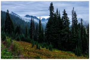 mt rainier forest by jack graham